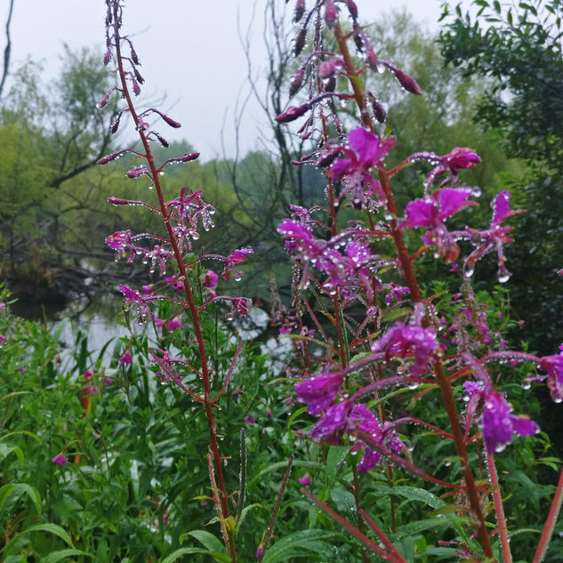 'Fireweed and Water' by Kerri Whiteside