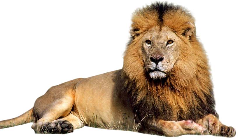 photo of lion in his den