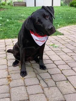 Nutmeg (Guide Dog) wearing her Walk for Dog Guides Bandana Scarf
