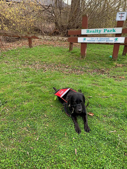 Nutmeg (Guide Dog) lab black sitting on the grass taking a break from Guide Dog Walk 2021
