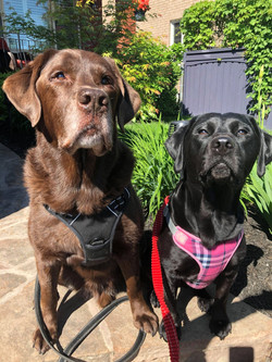 Charlie (Chocolate Lab) and Josie (Black Lab) doing thier part in the Walk for Dog Guides 2021