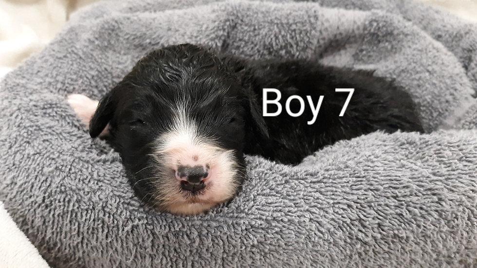 St. Berdoodle Boy 7
