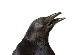 Crows Will Remember You - So be Nice to Them!