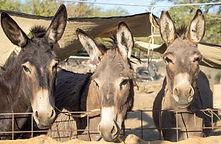 3 donkeys.jpg