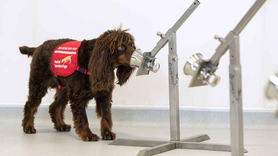 """Asher had been """"rehomed"""" seven times before he was trained to be a perfect Covid detector"""