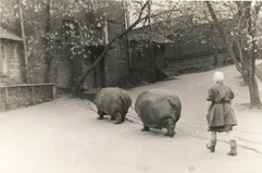 Hippos in Moscow Zoo. USSR, 1950s