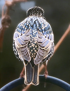 The Starling by Sandy Howard