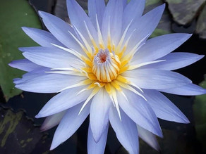 Nymphaea 'Star of Siam'