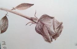 Роза, сепия