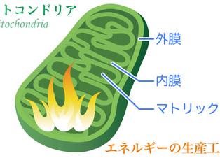 ミトコンドリアを増やして代謝を効率化