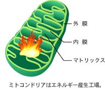 MTG1遺伝子