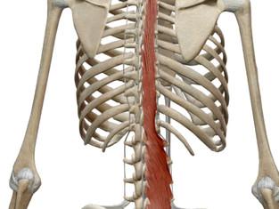 体幹について(多裂筋)