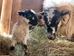 Lambing Season!