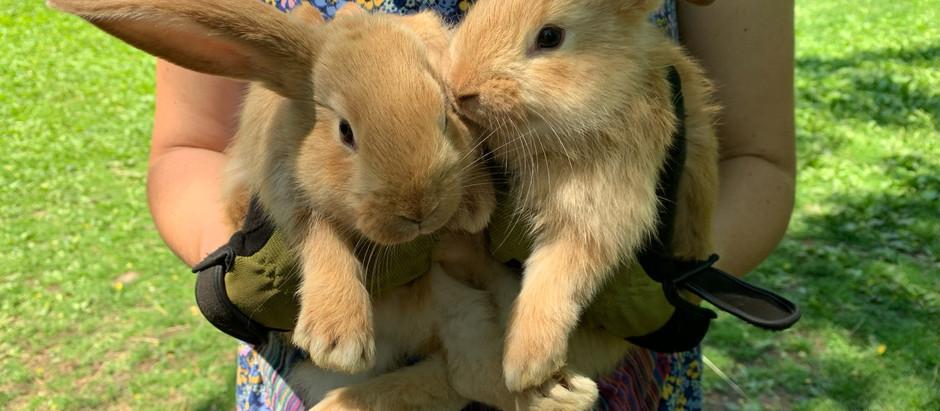 Flemish Giant Bunnies For Sale!