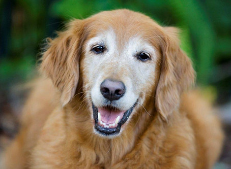 Caring for Older Dogs