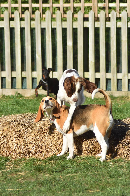 dog boarding daycare Wolverhampton beagle