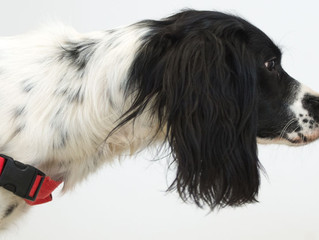 Dogs Detecting Coronavirus