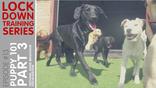 Online Training Class: Puppy 101 Part 3 Teething, Good Behaviour, Socialisation, Confidence Building
