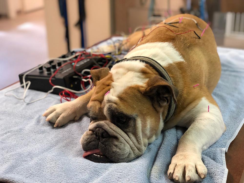 Bruiser getting acupuncture