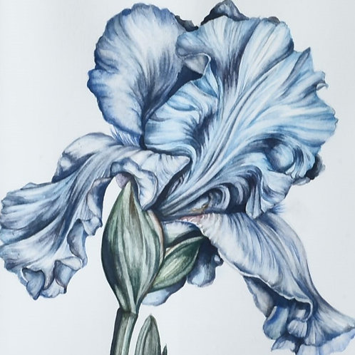 Iris Botanical Painting