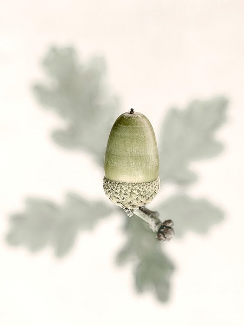 Oak I - Print by Barry Marsden