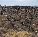 dead vineyards vines.jpg