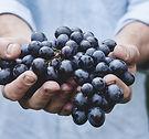 wine grapes vineyard provence.jpg