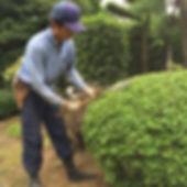 ドウダンの刈込 埼玉の植木屋 マルニシ造園