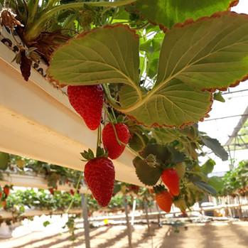 Strawberries in the Desert!