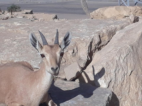 Yael (Hebrew for ibex) is looking at you!