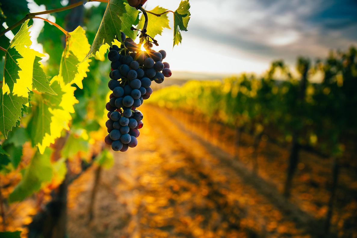 Beautiful sunset over Tuscan vineyards.