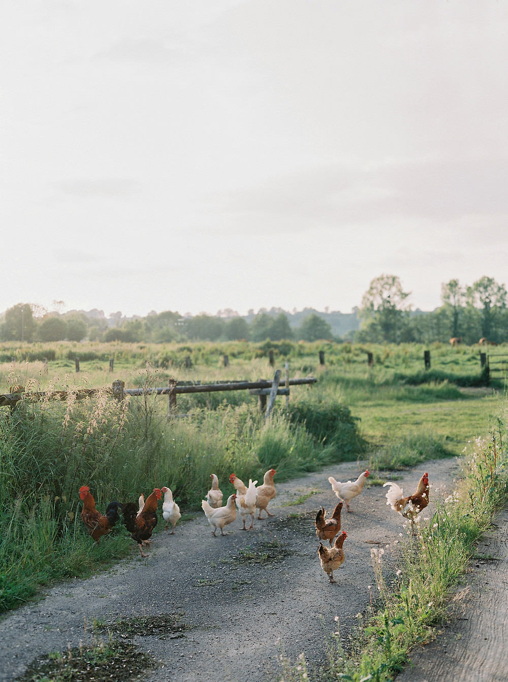 The adorable chickens that roamed that farm area of the chateau property. / Photo by Laura Gordon