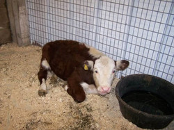 A Baby Steer
