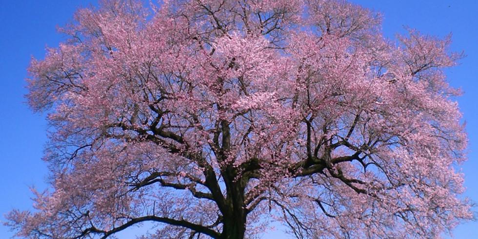 【開催中止】ショート午前 韮崎 幸福の小径とわに塚の桜