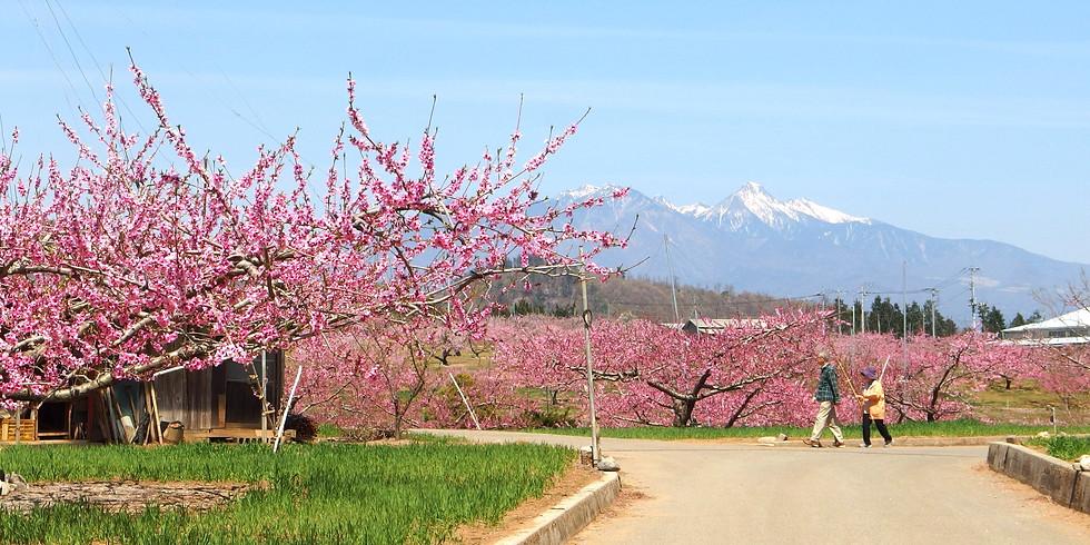 【開催中止】ショート午後 韮崎お花見ウォーク 穴山さくら公園と新府城