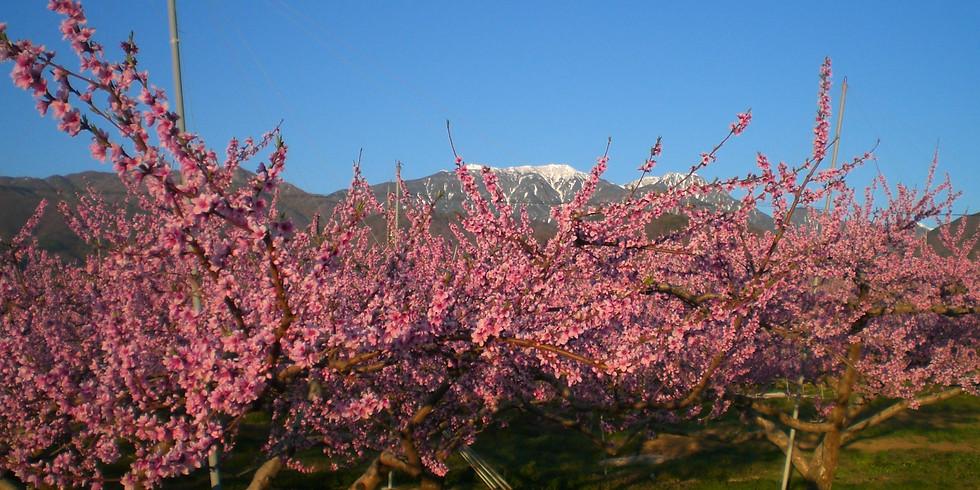 【開催中止】ロング 韮崎 穴山~新府ぐるり桃の里めぐり
