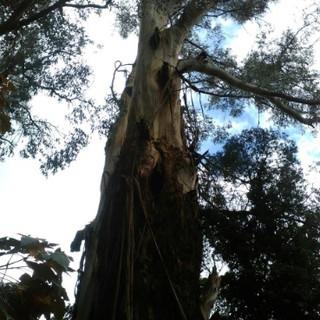 Backyard Eucalyptus