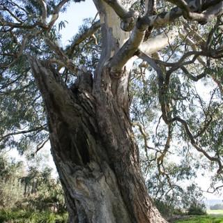 Eucalyptus camaldulensis, Red river gum