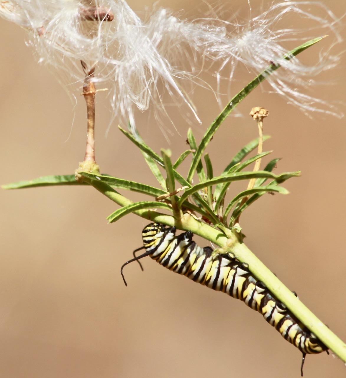 Monarch Butterlfy Caterpillar (1)