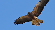 Swainson's Hawks Are Back