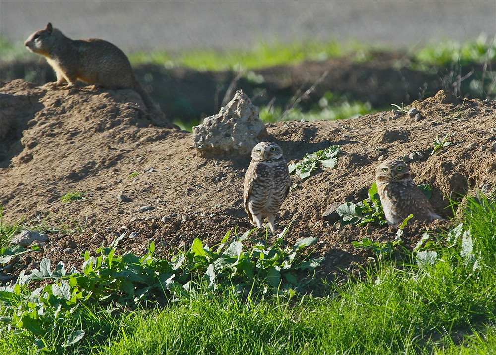 Burrowing Owl_0051_edited.jpg