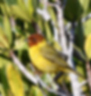 """Mangrove"" yellow warbler"