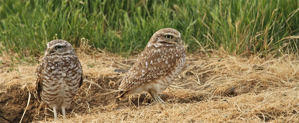 Burrowing owls brentwood_0271.jpg