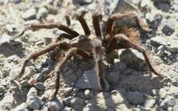 Tarantula (male)