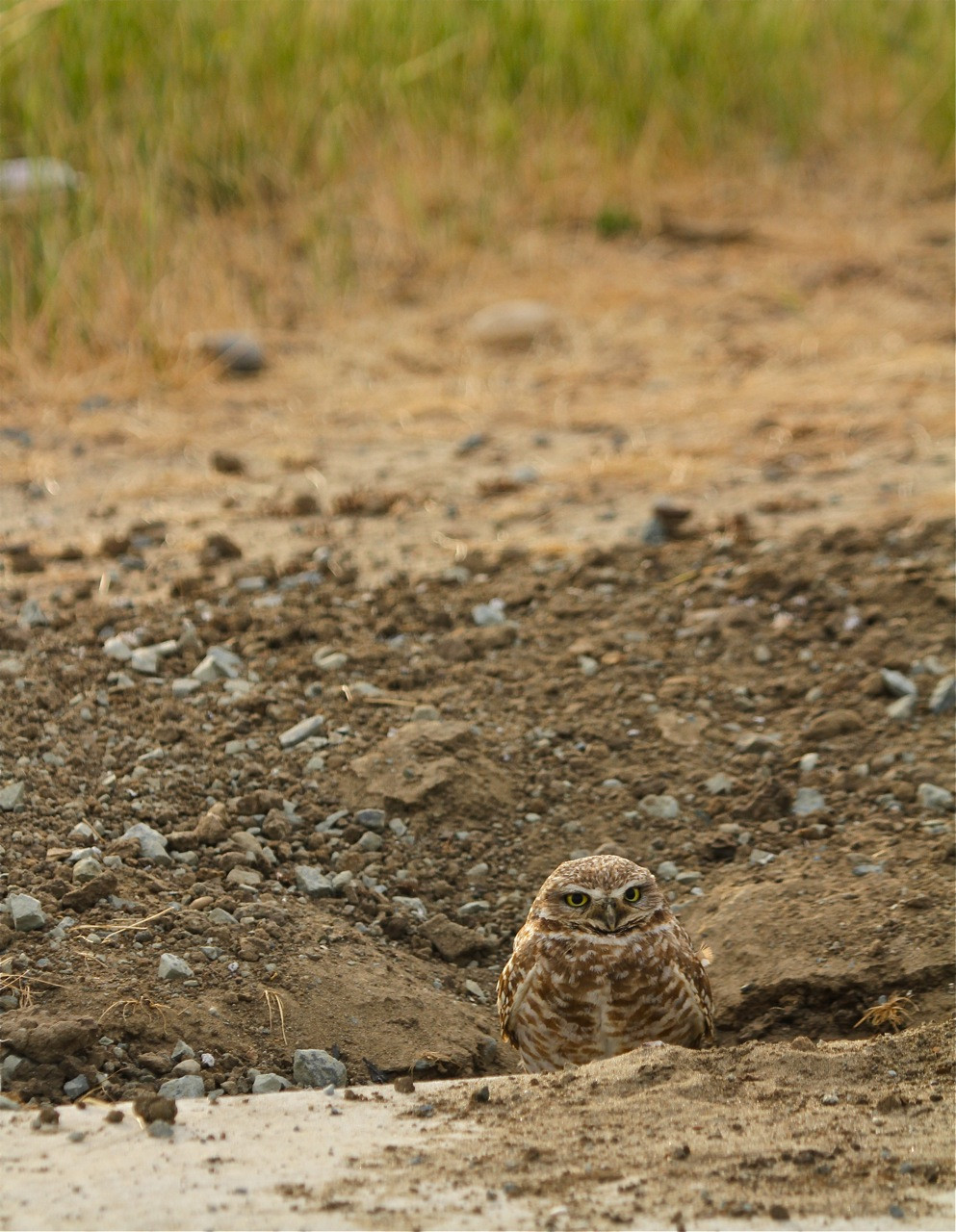Burrowing owls brentwood_0305.jpg