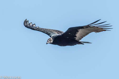Turkey Vulture- Juvenile