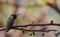 Costa's Hummingbird_edited