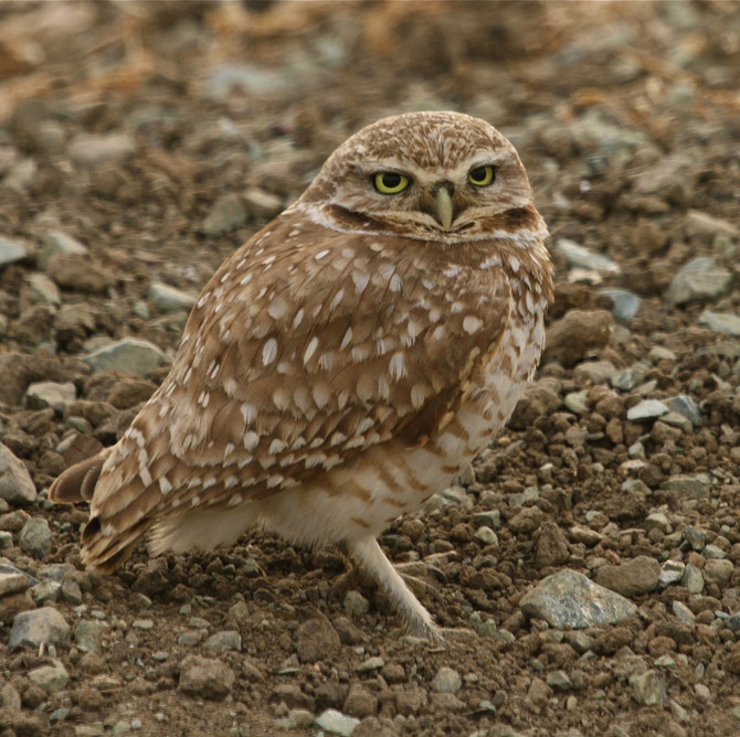 Burrowing Owls: Unexpected Urban Dwellers