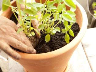 Horta em casa - O Vaso Cerâmico