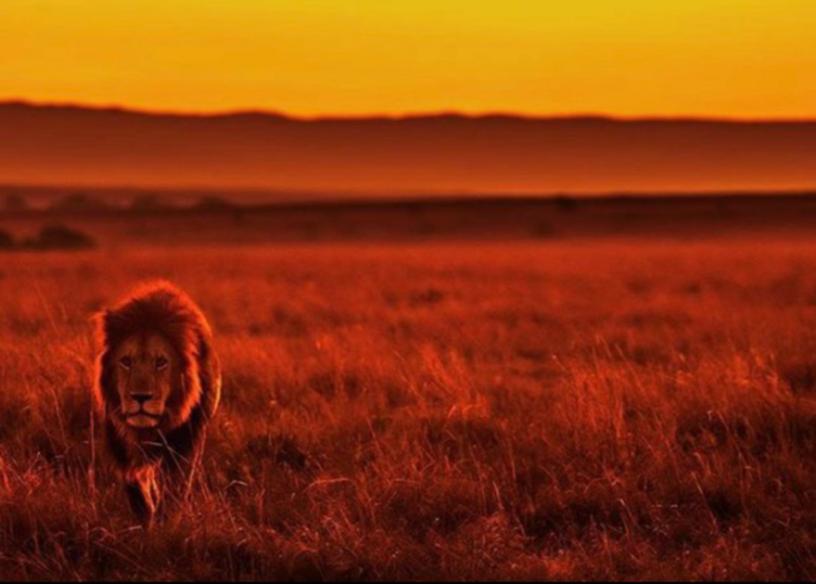 lion%25204%2520%2540keyusphotography_edi